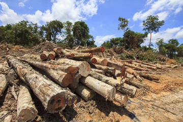 Deforestation: Borneo tropical rainforest is destroyed for oil palm plantations and human development.