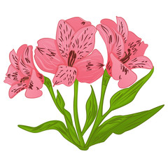 Alstroemeria cartoon pink flower and green leaves. Vector