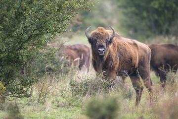 Fototapeta Bison bonasus - European bison - Milovice, Czech republic