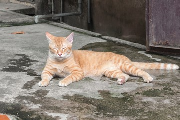 Orange cat  on the floor and resting. Cat Thailand beautiful.