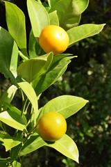 tangerines on a bush