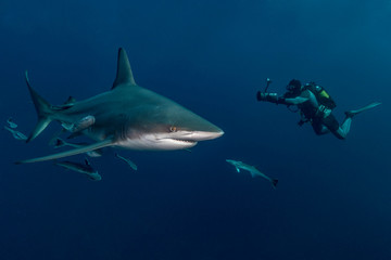 Scuba diver photographing sharks underwater