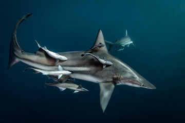 Sharks swimming underwater