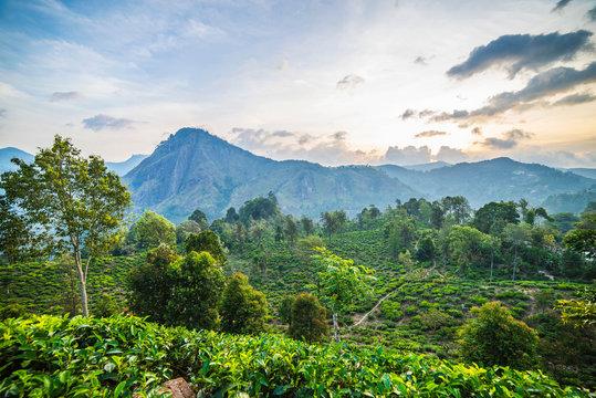 Tea plantation, Ella, Sri Lanka