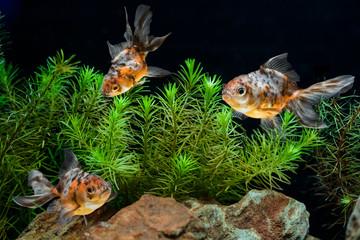 Goldfish in aquarium with green beautiful planted tropical