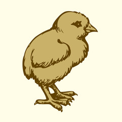 Chick. Vector drawing