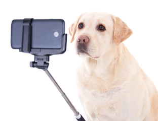 beautiful dog (golden retriever) taking selfie photo isolated on