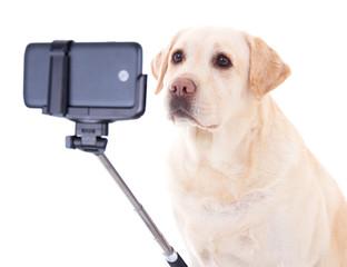 beautiful dog (golden retriever) taking selfie photo isolated on
