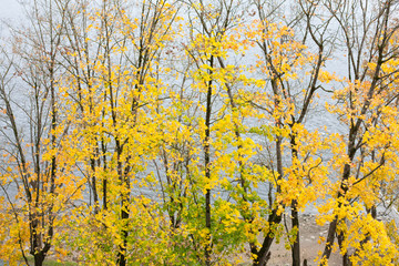 Aerial view of autumnal maple trees on the river coast