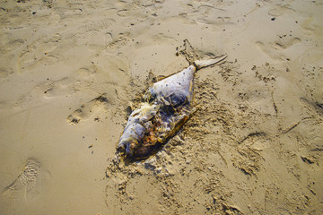 Death fish on the beach, global warming extinction