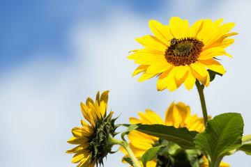 Autumn flowers sunflower against the sky