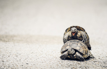 Tortoises mating on the road