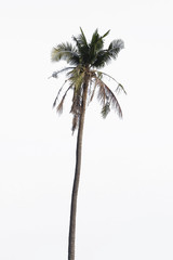 coconut tree isolated on white with path
