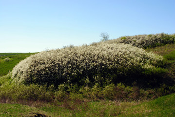 Blooming bush of blackthorn on a green hill, spring sky