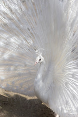 Portrait of the beautiful male white peacock with spread tail feathers