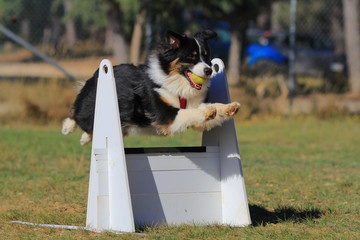 Flyball dog