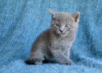 baby blue kitten