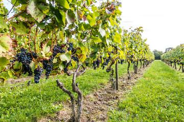 Reife Weintraunen am Rebstock