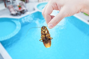 Woman's Hand holding cockroach on swimming pool background, eliminate cockroach in house and hotel