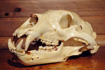 Big brown bear (Ursus arctos) old skull. Vintage Taxidermy