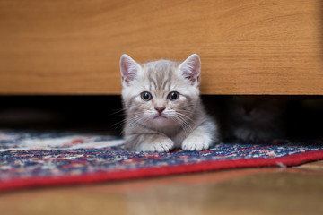 small British kitten peeking out from under the bed at home