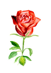 watercolor a rose on isolated a white background.