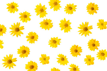 Vivid yellow summer flowers isolated on white background. Flower pattern