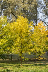 Yellow foliage in the autumn park