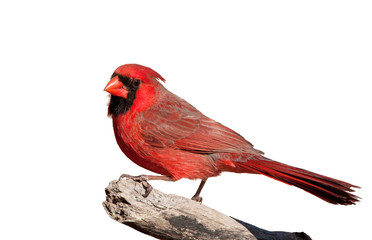Handsome bright red Northern Cardinal male perched on a limb, isolated on white Wall mural