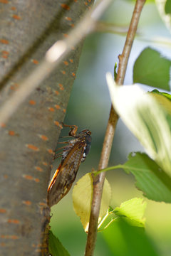 The large brown cicada- Graptopsaltria nigrofuscata- has stayed in a cherry stem in Fukuoka, JAPAN. It is in August. We called Aburazemi the large brown cicada in JAPAN.