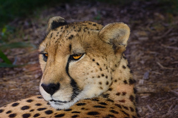 Cheetah  (Acinonyx jubatus) relaxing in the shade