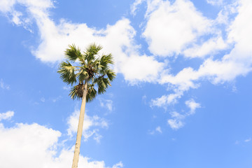 Sugar palms (borassus flabellifer) Asian Palmyra palm, Toddy pal