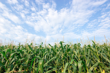 corn field maize close up, cornfield maize in the blue sky background with clouds