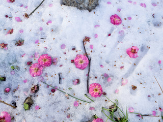 Pink flowers fluttered to the snow ground in winter.