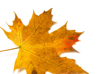 yellow maple leaf on a white background