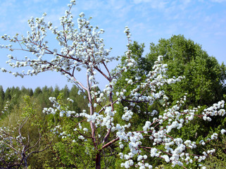flowering branches of apple trees