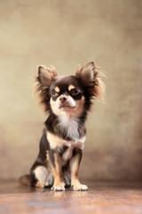 Langhaar-Chihuahua sitzend im Studio