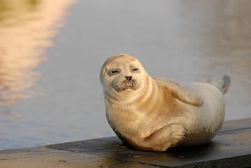 Fototapeta premium Phoque veau marin
