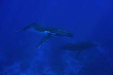Couple of humpback whale underwater, Megaptera novaeangliae, Pacific ocean, Rurutu island, Austral archipelago, French Polynesia