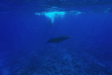 Megaptera novaeangliae Humpback whale underwater in the Pacific ocean, Austral islands, Rurutu, French Polynesia