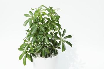 鉢植えのシェフレラ