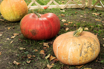 Three pumpkins   in a row diagonally. Three orange and yellow pumpkins. Pumpkins lying on the grass. Autumn. Fallen leaves. For Halloween