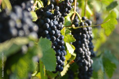 grappes de raisins noirs sur pieds de vigne photo libre de droits sur la banque d 39 images. Black Bedroom Furniture Sets. Home Design Ideas