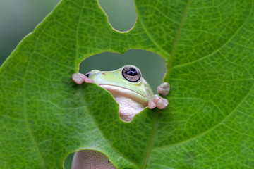 Frog looking through hole in a leaf, indonesia