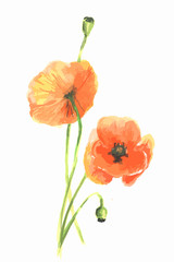 Isolated watercolor poppy on white background. Beautiful and elegant flower for decoration.