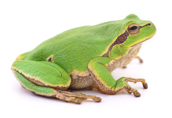 Green frog isollated.