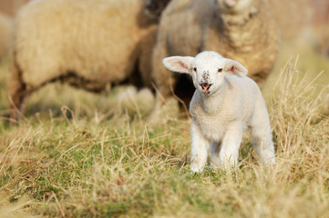 lamb standing on pasture