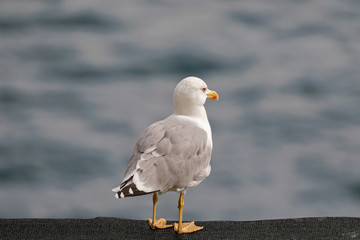 European herring Gull standing on black net with blurred Mediterranean Sea in Italy, southern Europe
