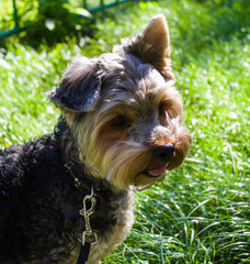 Yorkshire Terrier dog on the street