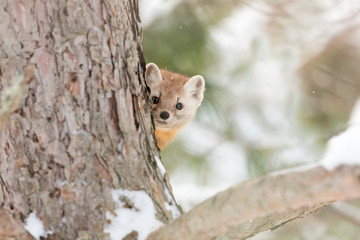 Pine marten peeks out from behind a tree in Algonquin Park, Canada in winter Wall mural